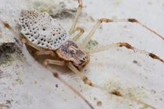 Herennia spider Royalty Free Stock Photo