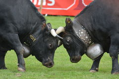 Herens Cattle / Cow Fighting Stock Photography