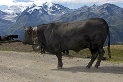 Herens fighter cow. A Herens fighter cow on a mountain pasture in the Pennine Alps, Valais, Switzerland Stock Photo