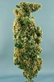 herer dźwigarki marihuana medyczna Obrazy Stock