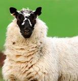 Heres Looking At You. Blackfaced sheep stock photos