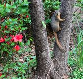 Heres Looking At You - squirrel on tree trunk staring into camera in front of azeleas Royalty Free Stock Image