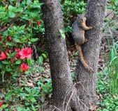 Heres vous regardant - écureuil sur le tronc d'arbre regardant fixement dans l'appareil-photo devant des azeleas Image libre de droits