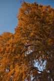 Herfst boom Stock Foto's