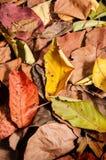 Herfst brighty bladeren Stock Foto's