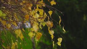Herfst, de wind die gele berkbladeren de wervelen stock video