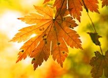 Herfst esdoornblad en zonnestraal stock fotografie