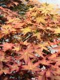 Herfst rode esdoornbladeren Royalty-vrije Stock Foto