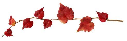 Herfst takje van klimop (schroef Hedera) Stock Fotografie