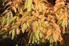 Herfst takken van de Californische sequoia van de Dageraad, Metasequoia Stock Foto's