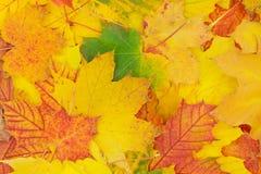 Herfstachtergrond van colorfully gekleurde esdoornbladeren royalty-vrije stock afbeeldingen