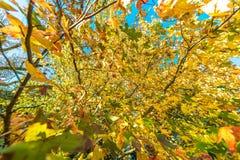 Herfstachtergrond van gele bladeren tegen blauwe hemel stock foto's