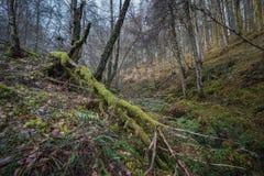 Herfstbossen dichtbij Tarvie-stad, Rogie-Dalingen, Schotse Highlan royalty-vrije stock afbeelding