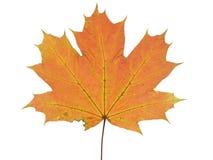 Herfstdieblad van een esdoornboom op witte achtergrond wordt geïsoleerd Stock Foto