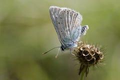 Herfstdraad-gevleugelde Vlinder Royalty-vrije Stock Foto's