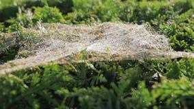 Herfstdraad op de struik Spinval, close-up stock video