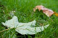 Herfstesdoornblad met regendalingen op het gras in stedelijk park Royalty-vrije Stock Foto's