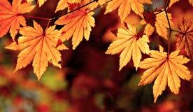 Herfstesdoornbladeren, dalingsscène royalty-vrije stock afbeeldingen