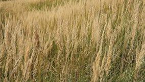 Herfstgrassen in de wind stock video