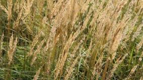 Herfstgrassen in de wind stock footage