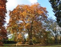 Herfstkleuren van de bladeren op een boom bij Arley-Arboretum in de Binnenlanden in Engeland stock foto