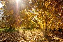 Herfstmening van een okkernootboom met een magische zonnestraal royalty-vrije stock foto