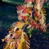 Herfsttakje van Dawn Redwood in avondlicht Stock Foto's