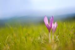 Herfsttijloos Colchicum autumnale op een bergweide Royalty-vrije Stock Afbeelding
