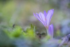 Herfsttijloos, Meadow Saffron, Colchicum autumnale royalty free stock photos