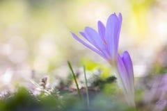 Herfsttijloos, zafferano di prato, colchicum autumnale fotografie stock libere da diritti