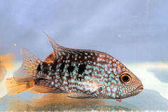 Herichthys carpintis (Green Texas cichlid) Royalty Free Stock Images