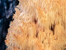 Hericium coralloides, coral tooth fungus. Split-toned and focus-stacked photo of the coral toot fungus Hericium coralloides Royalty Free Stock Photo