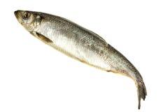 hering рыб свежий Стоковое Изображение