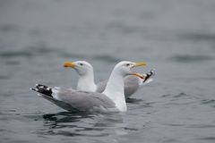 Hering gull are call, norway. Hering gull are call, romsdalfjord, norway, larus argentatus Stock Image