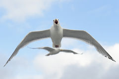 Hering Gull in flight Stock Photo
