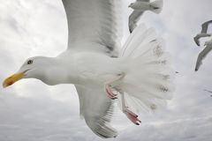 Hering gull in flight Stock Image