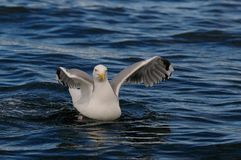 Hering gull fly up, norway. Hering gull, flying up from the sea, romsdalfjord, norway, larus argentatus Stock Photo