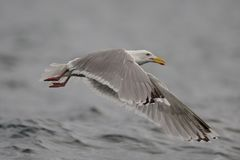 Hering gull fly up, norway. Hering gull, flying up from the sea, romsdalfjord, norway, larus argentatus Royalty Free Stock Photos
