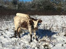 Pineywoods Cattle in Snow. Heritage breed Pineywoods Cattle in snowy pasture stock photos