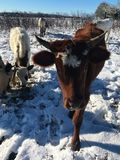 Pineywoods Cattle in Snow. Heritage breed Pineywoods Cattle in snowy pasture stock photo