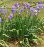 heritage pallida iris stock photo