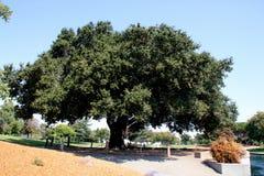 Heritage Tree, Coast Live Oak, Ficus agrifolia Royalty Free Stock Image