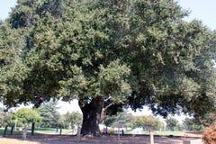 Heritage Tree, Coast Live Oak, Ficus agrifolia Stock Images