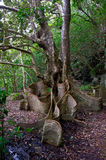 Heritiera littoralis, the looking-glass mangrove. In Okinawa, Japan Royalty Free Stock Photos