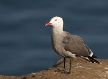 Herman's Gull Royalty Free Stock Images