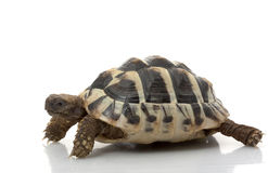 Herman?s Schildkröte Stockbild