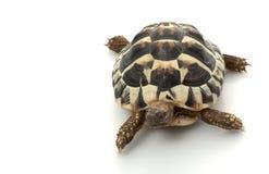 Free Herman�s Tortoise Stock Images - 7890814