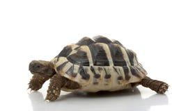 Herman�s Tortoise. (Testudo hermanni) isolated on white background Stock Image