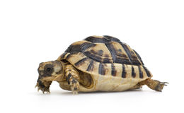 Herman's Tortoise - Testudo hermanni Royalty Free Stock Photography