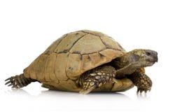 Herman's Tortoise - Testudo hermanni Stock Image